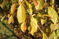 アブラチャンの葉