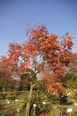 ヤマハゼの木