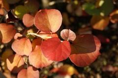 ハマボウの紅葉