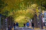 たくさんの人が行きかってイチョウ並木を楽しんでいます。