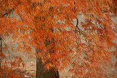 タムケヤマモミジの葉