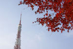 モミジと東京タワーの組合せを捉えた!