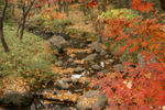 公園内のせせらぎに多いかぶさるモミジに流れるモミジの葉があります