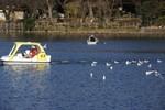 餌をもらえると思ってボートのあとを追う野鳥達