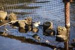 池に映った自分と遊んでるようなハクセキレイ