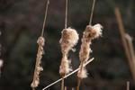 風に吹かれて綿毛が飛び立ち、徐々に細くなってヒメガマ