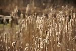 日に照らされ綿毛が輝くヒメガマ