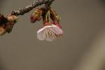冬に咲くカンザクラ。桜の季節の足音が・・・