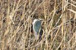 10羽近くが茂みでじっとしていました。こいつの頭に冠羽があるんです!