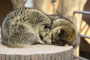 ぼく達遊び疲れちゃったよ、とアライグマちゃん