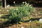 水仙の足元で咲く福寿草もけな気でかわいい