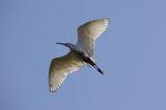 サギの優雅な飛翔スタイル