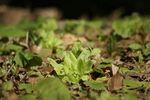 春に先立って芽を出すフキノトウの勢いを感じます