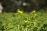 スッと立つ菜の花。春に小躍りしてる!