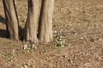 高い木の足元にひっそりと咲くスミレ