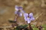 ほんとに可憐なスミレの花