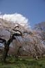 桜には青空と白い雲が似合います