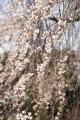 見事に枝が垂れて花が咲いています