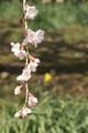 桜の足元に1輪だけ咲く水仙とともに