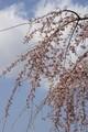 やっぱり桜には青い空が一番!