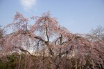 そこにたくましく育つ枝垂桜