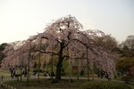 どこから見ても立派な枝垂桜です