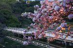 まだ明るさの残る時間の海手伝橋と八重桜