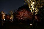 ライトアップされ浮かび上がる桜