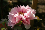 ピンクの花の感じがエレガントなぼたん
