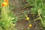 茎を折られ地に伏したポピー達