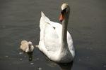 守ってくれる親鳥のそばで安心して泳ぎます
