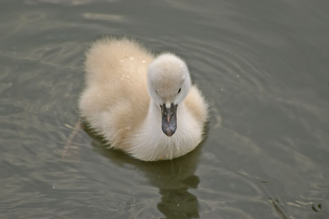 白鳥のヒナ.JPG