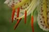 咲いたばかりで花粉がびっしり!