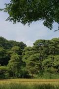 稲穂にかかるカエデと遠くの入道雲