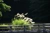 池の真ん中でキラキラと輝くススキです。