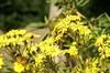 手前のツマグロヒョウモンと奥の小さなアカタテハらしき蝶