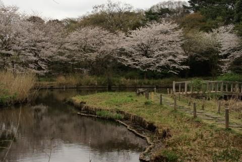 自然教育園の桜