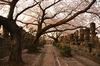 桜の幹の影が了誉上人墓所です