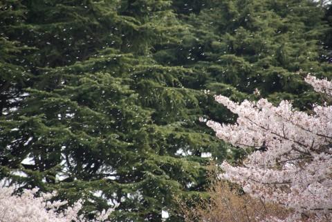 舞う桜吹雪