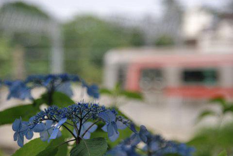紫陽花と東横線