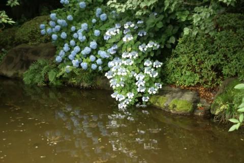 二の丸池の紫陽花