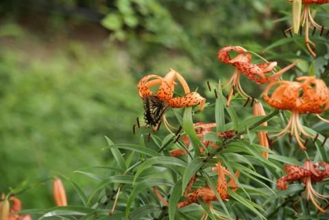 オニユリの蜜を吸うアゲハチョウ