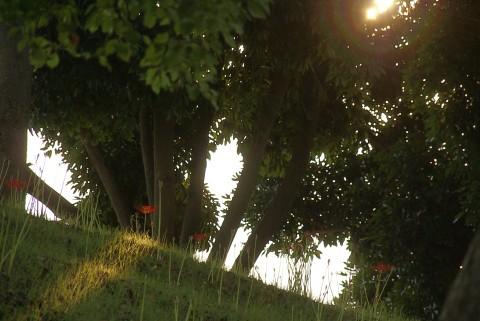 日を浴びる彼岸花