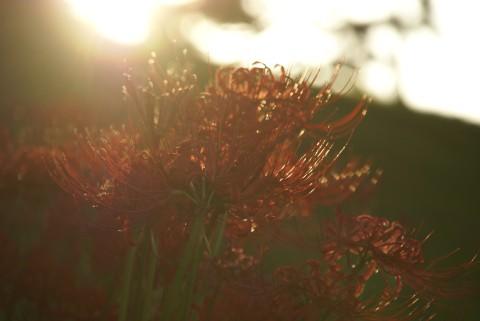 夕陽を浴びる彼岸花
