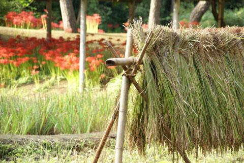 稲藁とヒガンバナ