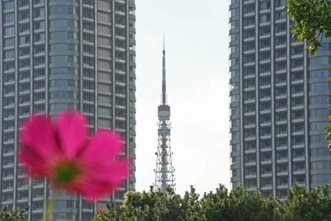 コスモスと東京タワー