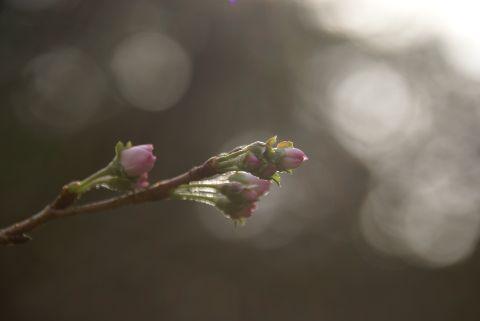 十月桜の蕾