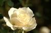 エーデルワイス:白い花びらにつく滴がわかりますか