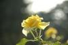ゴールドバニー:陽に透ける花びらの上に並んだ滴が