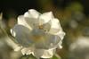 シュネービッツェン:陽に透けた花びらと滴がたまらない!